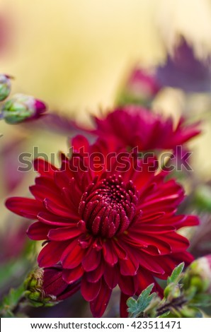 Flower of red chrysanthemums on a colorful background. Soft focus blur. Autumn floral background.