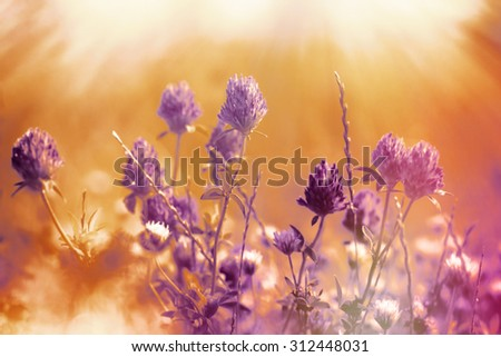 Flower of red clover illuminated by sun rays - stock photo