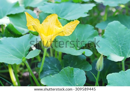 Flower of squash close up - stock photo