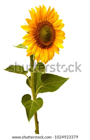 Flower of sunflower behind isolated on white background. Seeds and oil. Flat lay, top view