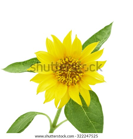 Flower of sunflower isolated on white background - stock photo