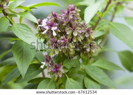 flower of sweet basil - stock photo