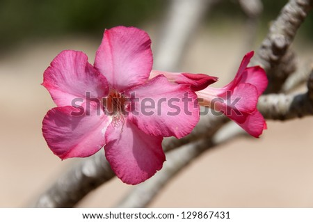 Flower of the baobab - stock photo