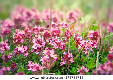 Flower of thyme closeup - stock photo