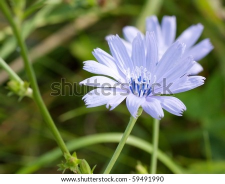 Flower of wild chicory on a background of a different field grass. - stock photo