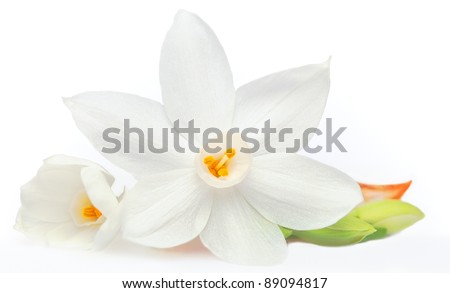Flower on White Background Isolated, Daffodil - stock photo