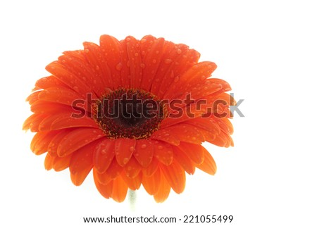 Flower, orange gerbera isolated on white background - stock photo