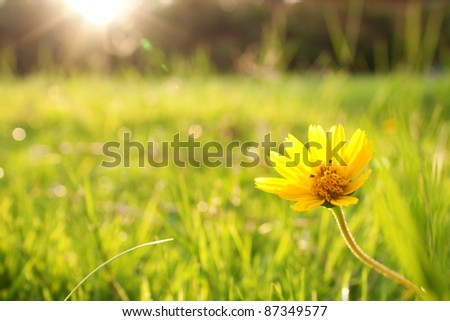 Flower over the sunset in a fresh green field - stock photo