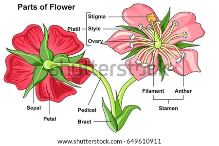 Flower Parts Diagram Front Back View Stock Illustration 649610911