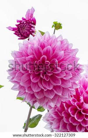 Flower pink dahlia on white background. - stock photo