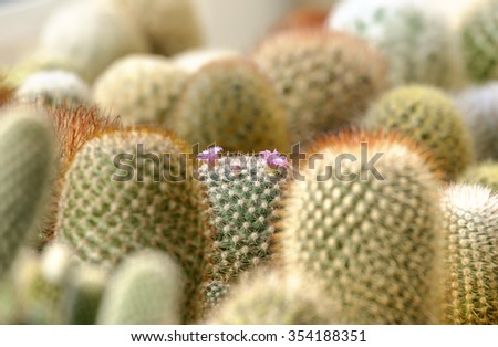 "Flower Pink of Cactus "" Gymnocalycium "" in garden cactus - stock photo"