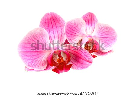 Flower pink orchid - phalaenopsis  isolated over white - stock photo
