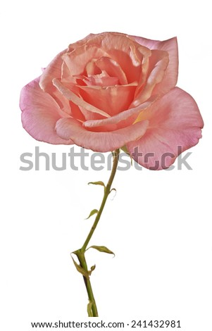Flower pink rose on white background