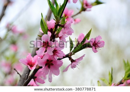 flower, plum, spring, color, colorful, outdoor, tree, blooming, clear, bud, natural, park, floral, petal, seasonal, leaf, culture, bright, sunny, summer, light, blossom, bloom - stock photo