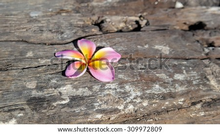 flower,Plumeria flower on wood floors. - stock photo