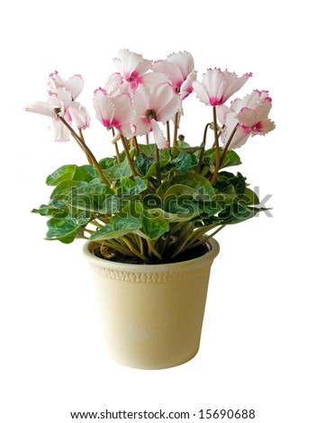 Flower pot with pink cyclamen flowers, isolated on white