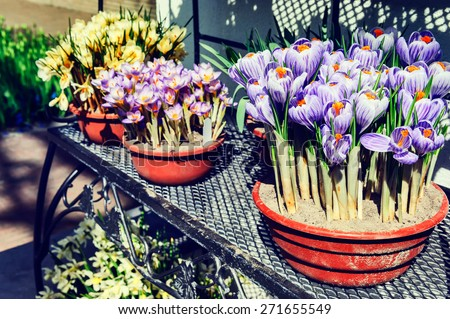 Flower pots with multicolor crocuses in spring garden - stock photo