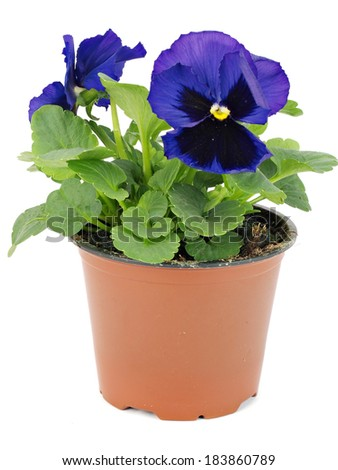 Flower pots with pansies(violets) on white background    - stock photo