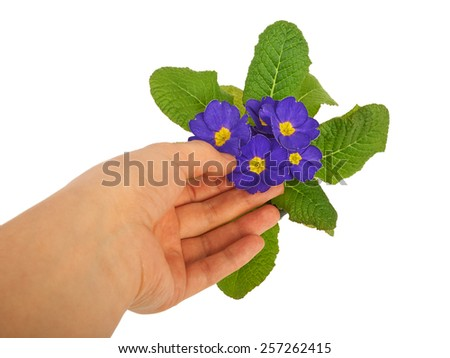 Flower primrose violets isolated on white background - stock photo