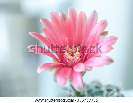 "Flower Red of Cactus "" Gymnocalycium "" in white pot or houseplant - stock photo"
