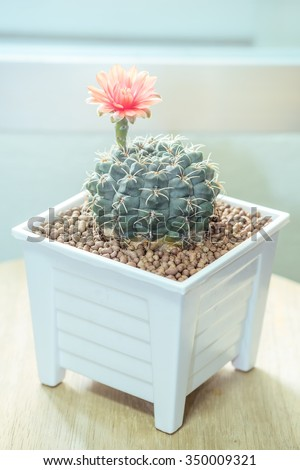 "Flower Red of Cactus "" Gymnocalycium "" in white pot or houseplant, vintage color tone - stock photo"