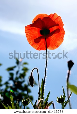 Flower, Red poppy against the blue sky in beams of the morning sun - stock photo