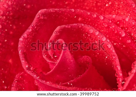 flower series: close up of red rrose blossom with water drop