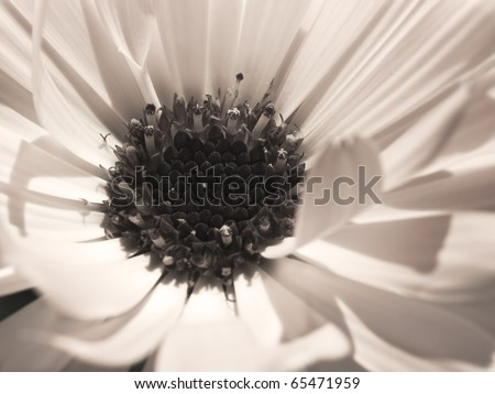 flower special occasion neutral background calendula close up - stock photo