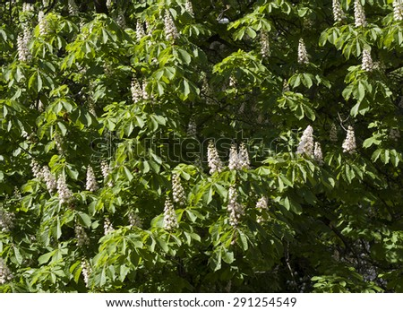 Flower spring blossoming chestnut tree flowers photo - stock photo