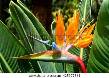 Flower Strelitzia. Bird Paradise. Tenerife, Canary Islands. Tropical garden North Africa. Strelitzia flower Canary islands - stock photo