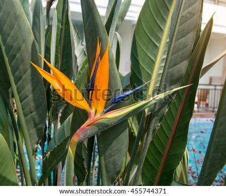 Flower Strelitzia reginae(bird of paradise, crane flower). - stock photo
