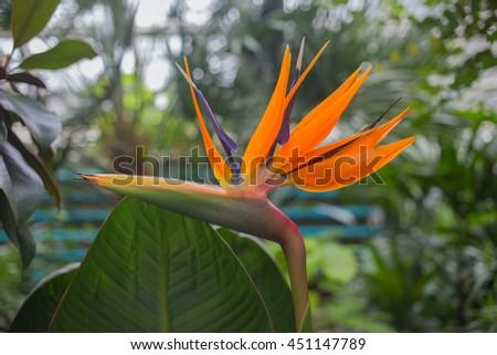 Flower Strelitzia reginae(bird of paradise, crane flower). Close up shot. - stock photo
