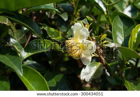 Flower tea, White Camellia sinensis flower on the tea plantation in Munnar. Kerala. India - stock photo