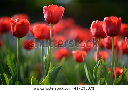 Flower tulips background. Beautiful view of red tulips under sunlight landscape at the middle of spring. red tulips, field of tulips,  tulips cute, colorful tulips, petals amazing tulips - stock photo