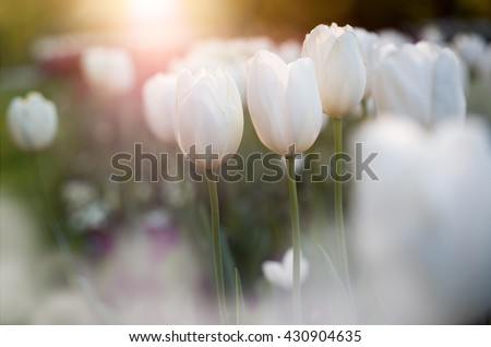 Flower tulips background. Beautiful view of white tulips in backlight and blurred bokeh background