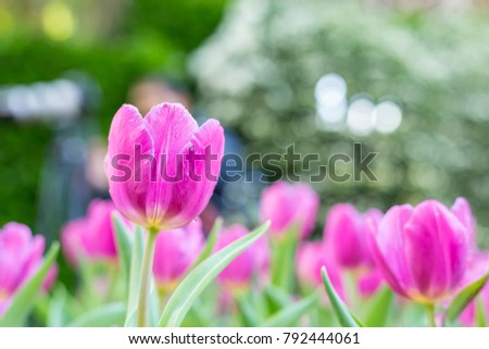 Flower tulips background. bokeh nature