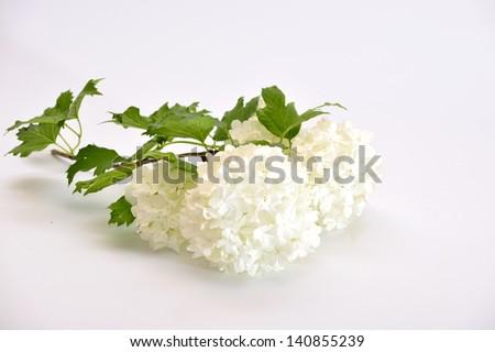 Flower viburnum - stock photo