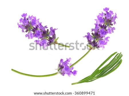 Flower violet lavender herb isolated on white background.