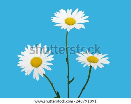 Flower white chamomile daisies on blue sky background - stock photo