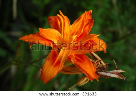Flower with fire color - stock photo