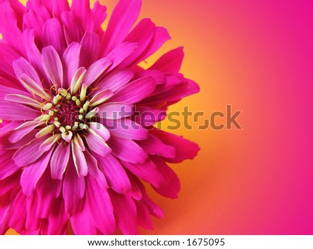 flower- zinnia with copy space - stock photo