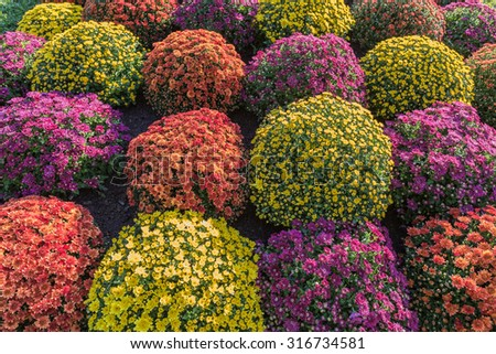 flowerbed made from colorful chrysanthemums - stock photo
