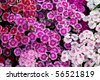 Flowerbed of Dianthus barbatus (Sweet William) - stock photo