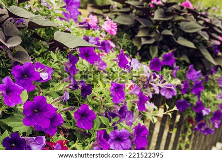 Flowerbed of purple flowers on a metal railing in the historic city center. Cultivation of city space. - stock photo