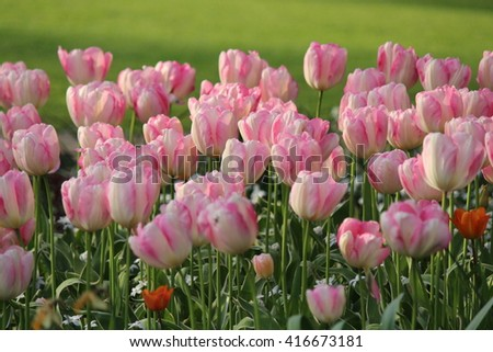 Flowerbed of Tulips in Evening Sun in Springtime, Yorkshire, England.