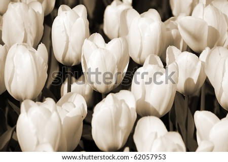 Flowerbed of tulips in the evening sunlight. Sepia toned image. - stock photo