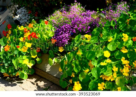 flowerbed with lobelia and nasturtium flowers - stock photo