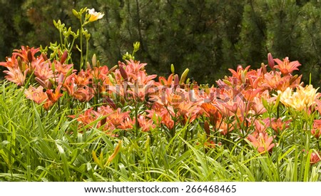 Flowerbed with many lilies of pink colour. - stock photo