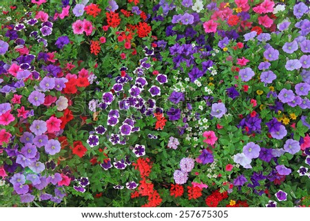 flowerbed with multicolored petunias and geranium - stock photo