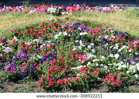 Flowerbed with multicoloured petunias